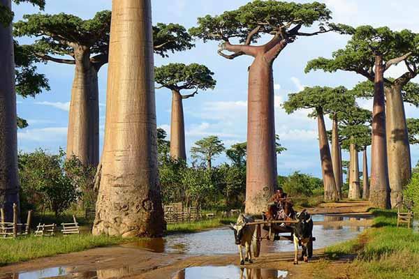 baobabs à Madagascar.jpg