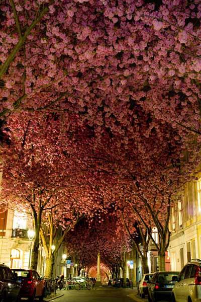 Cerisiers en Allemagne.jpg