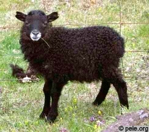 agneau-noir (1).jpg