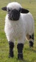 agneau-noir-2 (1).jpg