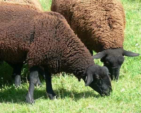 moutons-noirs.jpg