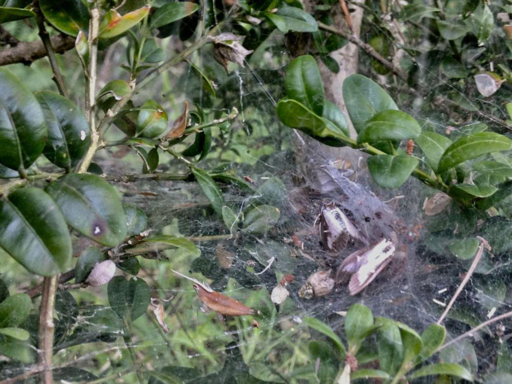 araignée-pyr-6.jpg