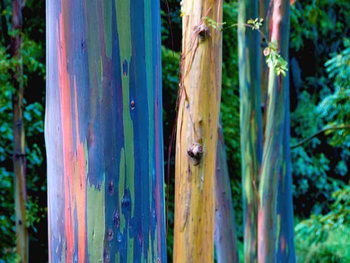 Leucalyptus-arc-en-ciel-un-arbre-haut-en-couleur-3-1.jpg