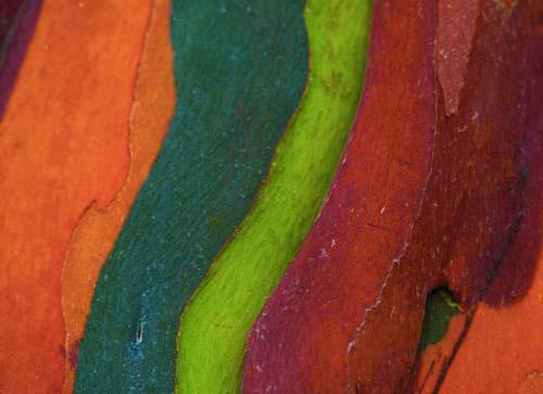 eucalyptus-arc-en-ciel-photos-3.jpg